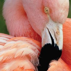 Brad Nading/Telegram A Chilean flamingo works on cleaning feathers with its beak Wednesday at Lee Richardson Zoo.