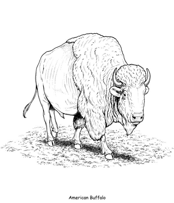 Amercian Buffalo Coloring Page