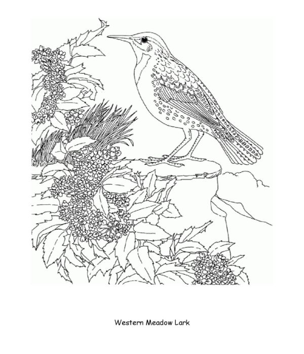 Western Meadow Lark Coloring Page